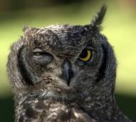 Comedy owl